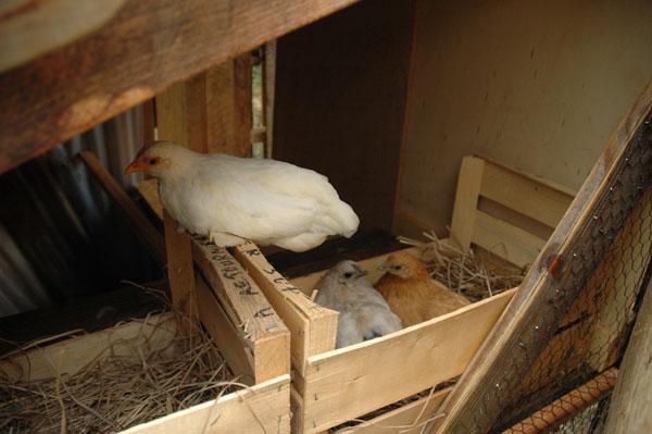 Int gration de poules dans notre co syst me en permaculture maisoneco c - Maison pour les poules ...